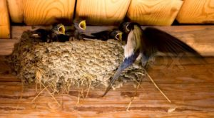 1681058-swallow-and-baby-birds-in-a-nest