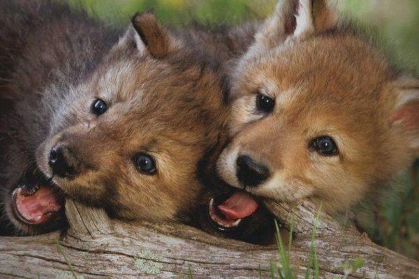 Farkaskölyök szeretnél lenni?